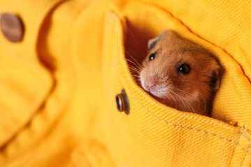 Cute little hamster in pocket of yellow shirt, closeup. Space for text