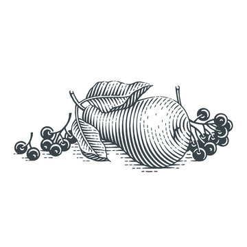 Pear and chokeberry. Hand drawn engraving style vector illustration.