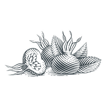Rosehip fruits. Hand drawn engraving style vector illustration.