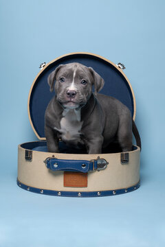 Purebred American Bully or Bulldog pup with blue and white fur sitting in a suitcase against blue