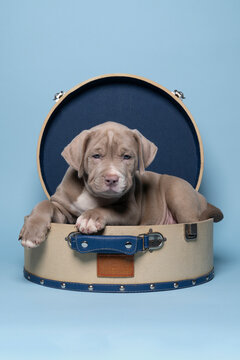 Purebred American Bully or Bulldog pup with beige and white fur sitting in a suitcase against blue