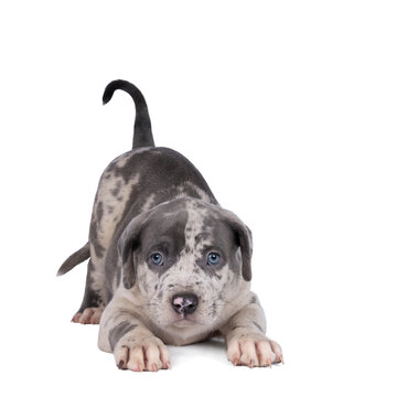 Purebred American Bully or Bulldog pup playfull lying down isolated on a white background