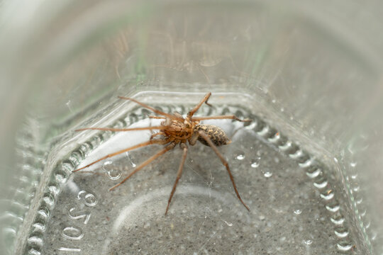 a Caught big dark common house spider in a glass jar in a residential home