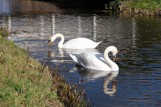 Two swans, male and female, couple swimming in a canal with reflections