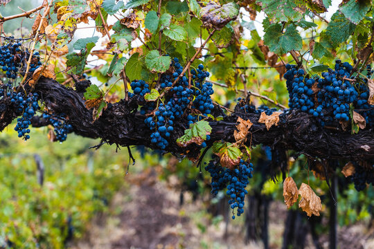 Malbec grapes in the vineyard.