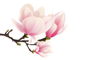 Fototapeta Rozkwitająca magnolia. Ręcznie rysowane kwiaty w kolorze bladego różu z gałązką i pąkami na białym tle. obraz