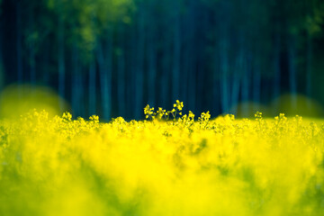 A beautiful yellow canola fields during springtime. Blooming rapeseed fields in Northern Europe. Springtime landscape of cultivated fields.