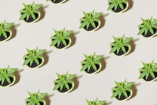 Young cannabis bush seedling in pot, top view Concept of growing marijuana at home