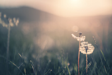 Fototapeta Wild grass with dandelions in the mountains at sunset. Macro image, shallow depth of field. Vintage filter. Summer nature background.