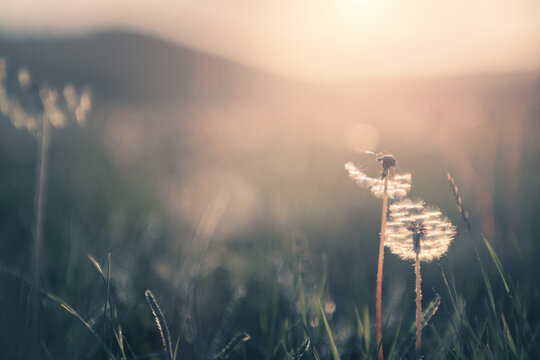 Wild grass with dandelions in the mountains at sunset. Macro image, shallow depth of field. Vintage filter. Summer nature background.