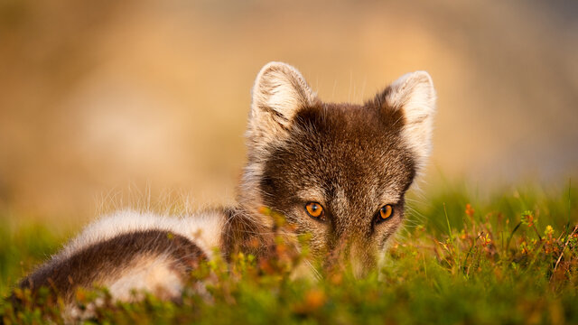 Arctic fox (vulpes lagopus) hiding in the moss with negative space