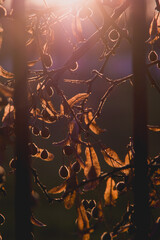 lipa w blasku słońca