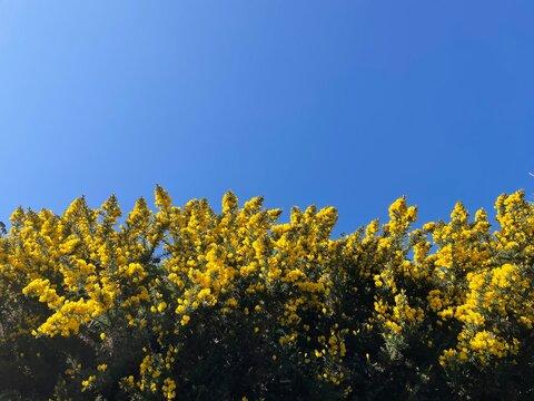Beautiful yellow flowering gorse bushes  in the Douglas area, Isle of Man