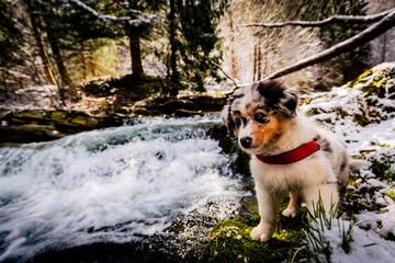 Adorable Australian Shepherd puppy on mountains adventure.