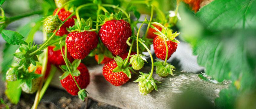 Ripe organic strawberry bush in the garden close up