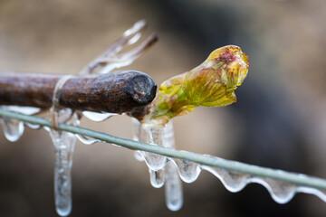 Fototapeta Lutte contre le gel de printemps dans les vignes de Chablis en Bourgogne - Technique de l'aspersion d'eau sur les bourgeons pour créer une coque de glace et empêcher le gel en dessous de 0°C (2016)