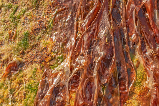 Brown drying Serrated Wrack seaweed on a mossy rock