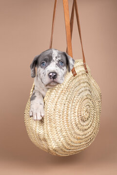 Purebred American Bully or Bulldog pup with blue and white fur sitting in a wicker basket on a beige background