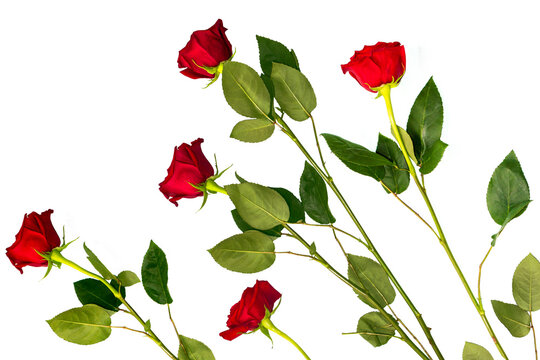 Five red roses on a white background. floral background