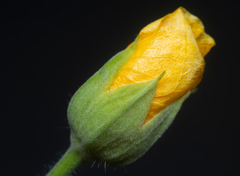 green abutilon theophrasti flora