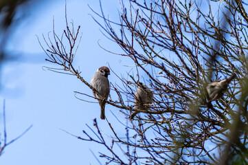 Fototapeta stado wróbli na gałęziach drzewa obraz