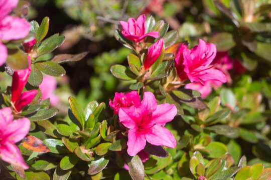Pink flowers of azalea in a garden during spring