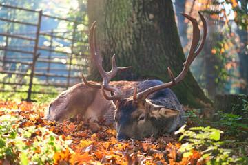 A deer lying on the ground in the forrest near tegel lake in Berlin