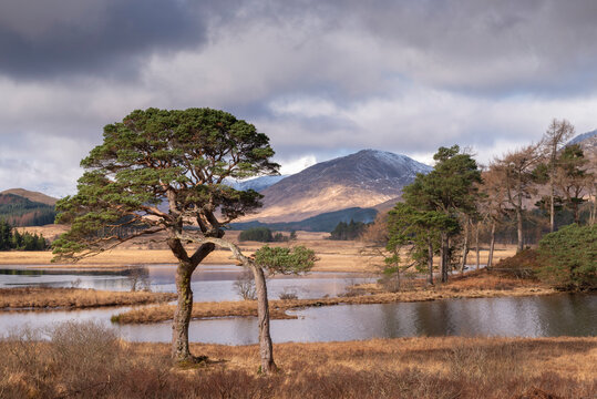 Scots Pine trees on the shores of Loch Tulla in winter in the Scottish Highlands, Scotland, United Kingdom