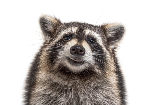 head shot of a young Raccoon facing at the camera, isolated