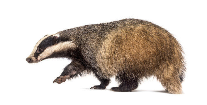 Side view of a European badger walking away, isolated