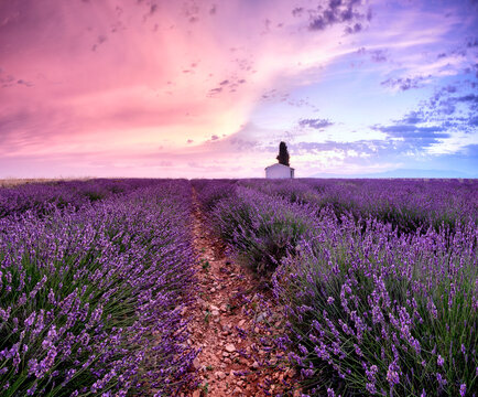 Sunrise in a lavender field with a small cottage and a tree, Valensole, Alpes-de-Haute-Provence, Provence, France