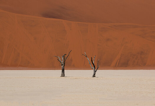 Two dry trees in Sossusvlei desert, high contrast between the red sand in the background and the white sand on the floor, Namib Desert, Namibia