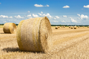 Straw rolls on the harvested grain field