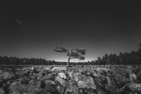 Lone Tree on Rock Boulder Field