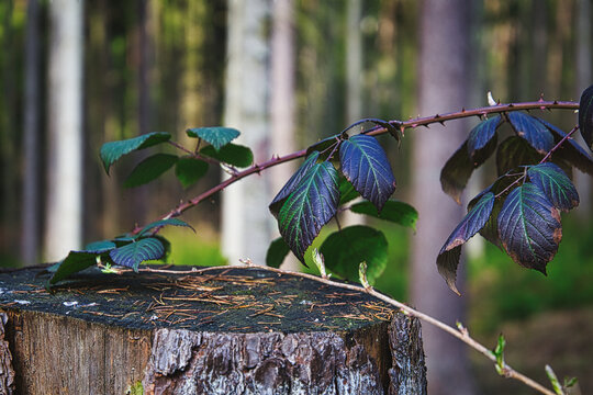 Blätter einer Brombeere auf einem Stamm