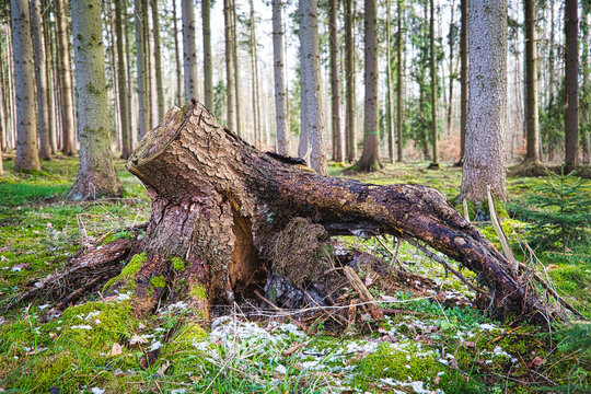 Wurzel im Wald