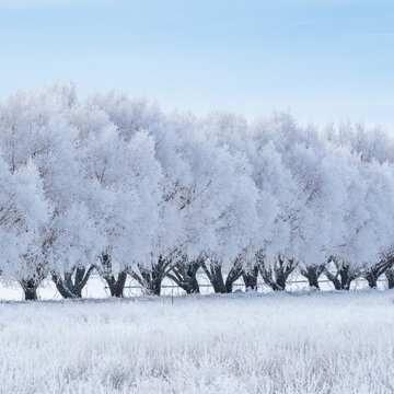 United States, Idaho, Bellevue, Row of frosty trees in winter