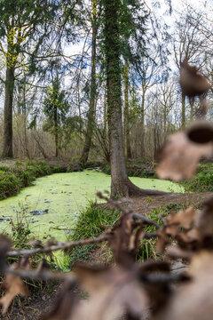 Etang en forêt recouvert de vase - forêt de Stambruges - commune de Beloeil - Belgique