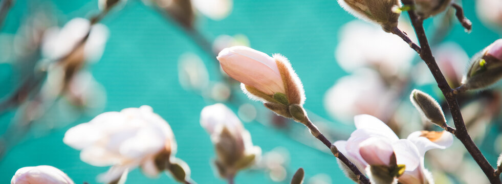 Blooming magnolia flower spring background