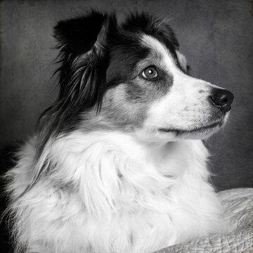 Portrait of an Australian Shepherd Dog