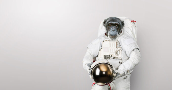 Monkey astronaut in a space suit with a helmet stands on a white background. Spaceman chimpanzee, concept. Primacy and development.