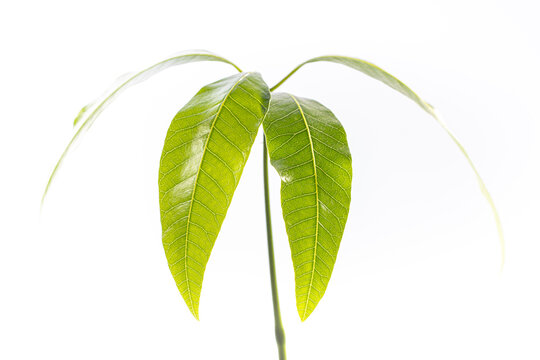 mango tree, Mangifera, rooting plant in water, growing mango from seed, young green plant grown at home,  young green leaves