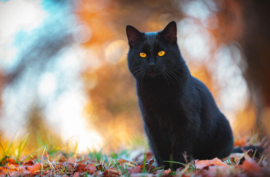 The black cat in summer Meadow with great bokeh