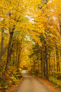 Maple tree in full autumn color along a single lane dirt road path, canopy, tunnel, Mt Carleton Provincial Park, New Brunswick, Canada
