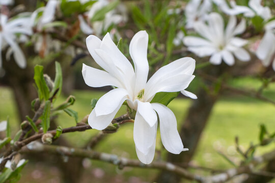 White magnolia flowers in a garden during spring