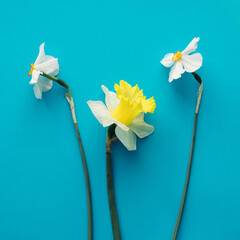 Yellow and white spring flowers on a blue background,minimal composition