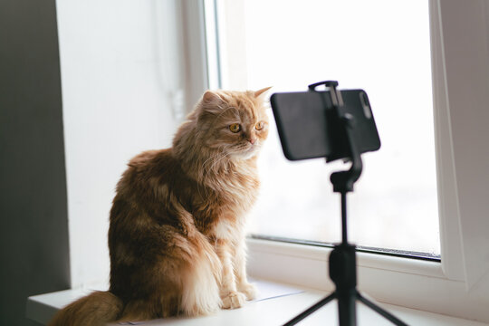 ginger home smart cat, jumped on the window where the phone is on the stand, sniffs it, looks at the screen, leads a video chat. Funny moment