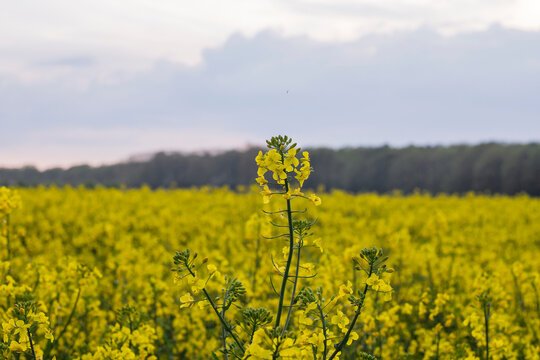 Rapeseed field with blossoming yellow flowers