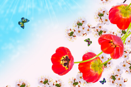 Blossoming branch apple, tulips.  Bright colorful spring flowers