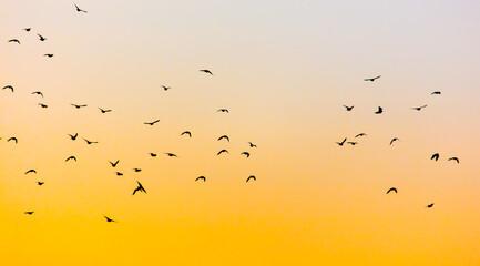 Fototapeta A flock of birds at dawn